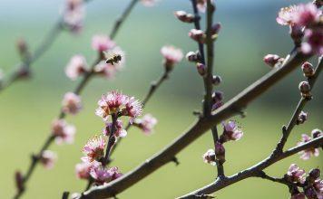abella de primavera