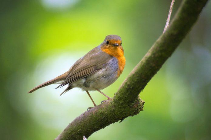 Anellament d'ocells a Calonge